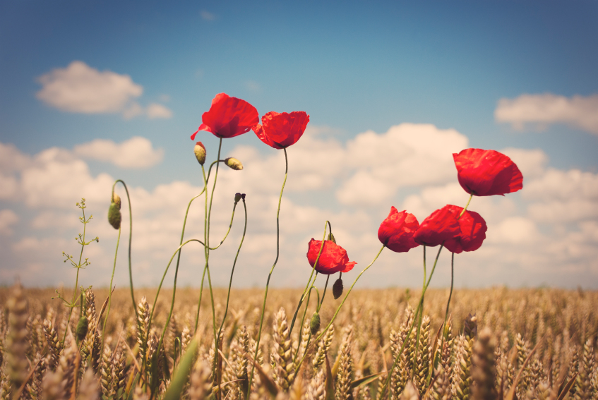 fleurs de pavot dans le champ